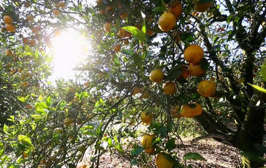 Florida farmers struggling with citrus greening disease