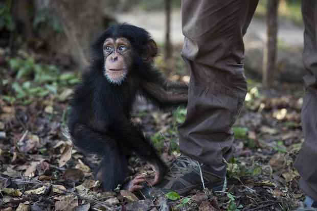 Rehabilitating orphaned chimps