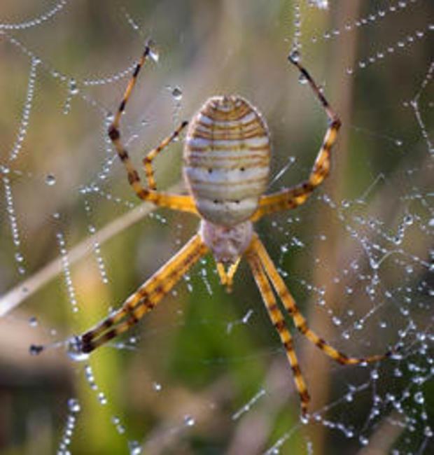 spider-banded-garden-spider-verne-lehmberg-244.jpg
