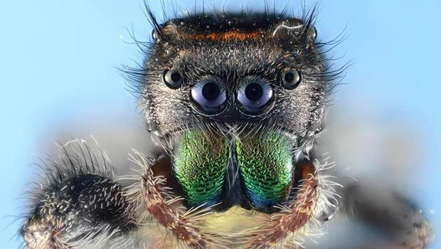 spider-closeup-phidippus-audx-verne-lehmberg-03.jpg