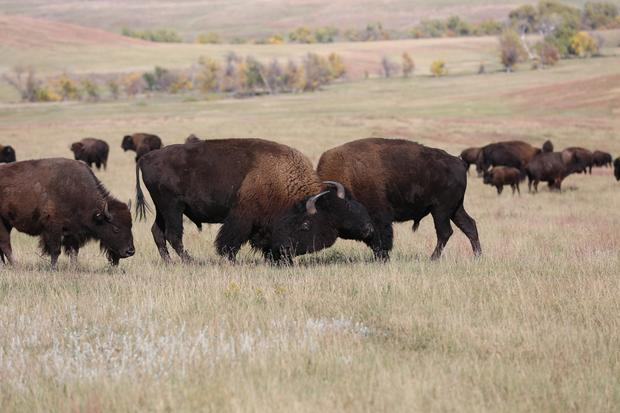 Inside the Custer State Park Buffalo Roundup