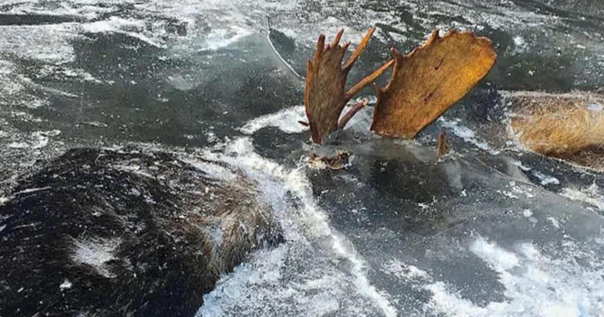 Frozen moose found locked in combat - CBS News