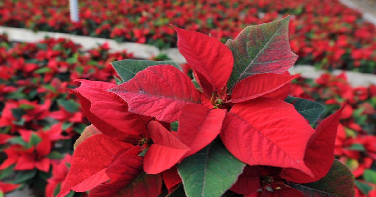 The Season For Poinsettias Cbs News