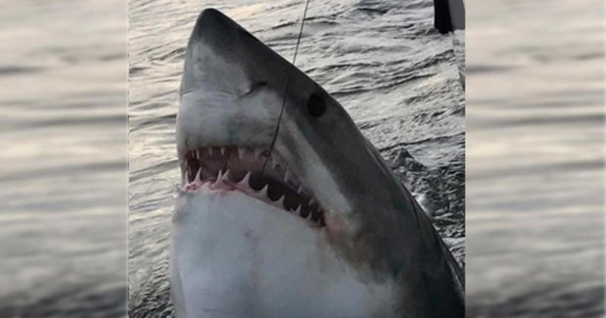 Crew Catches 16 Foot Quot Monster Quot Great White Shark Off