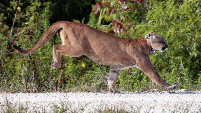 A 2-year-old Florida panther is released into the wild by the Florida Fish and Wildlife Conservation Commission on April 3, 2013, in West Palm Beach, Florida.