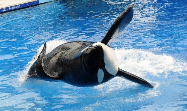 """Killer whale Tilikum appears during its performance in its show """"Believe"""" at SeaWorld on March 30, 2011, in Orlando, Florida."""