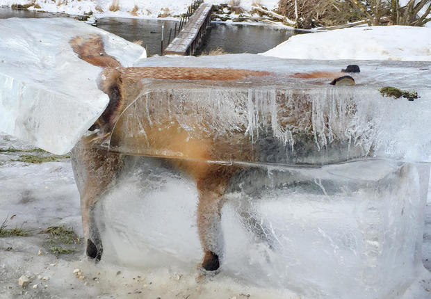 A block of ice with a frozen fox can be seen in Fridingen, Germany, Jan. 13, 2017.