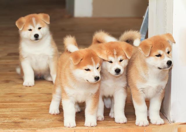 Samoyed 5 Expensive Dog Breeds That