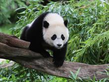 giant-panda-bao-bao-national-zoo.jpg