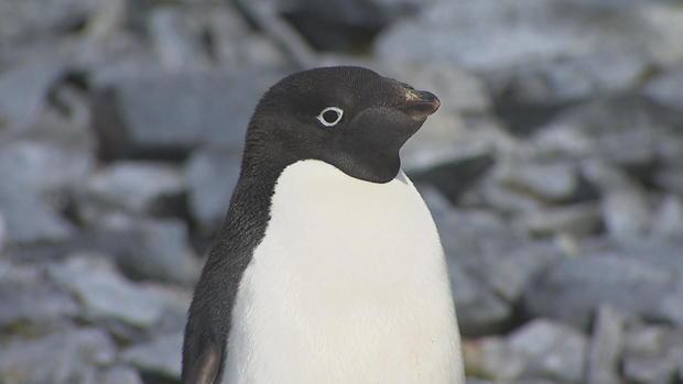 e7n-phillips-antarctica-palmer-penguins-frame-2418.jpg