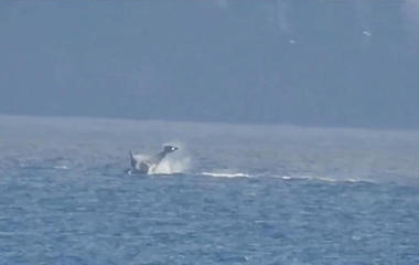 Orcas visit the North Puget Sound