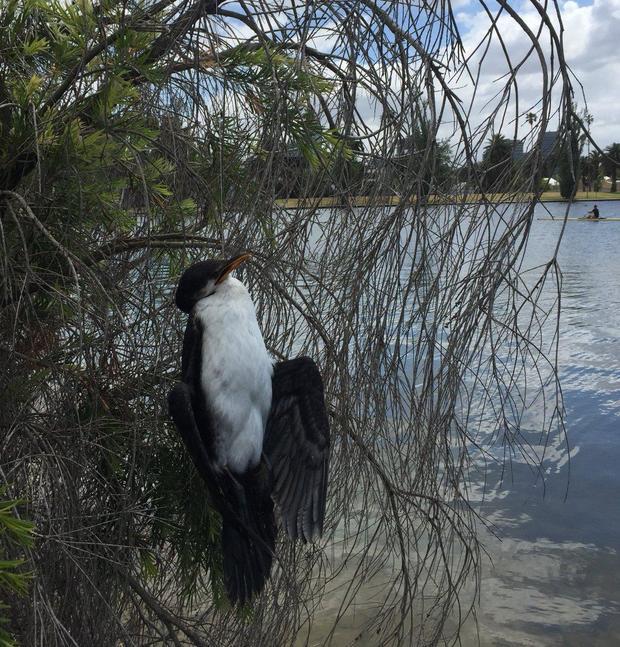 cormorant-anne-auselbrook.jpg