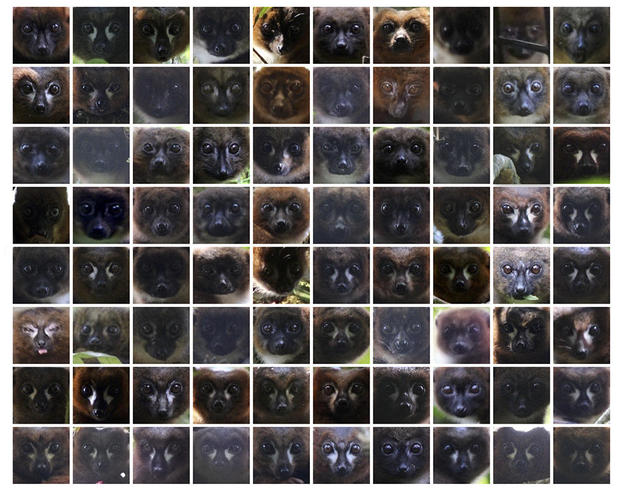 lemur-facial-recognition-01-face-collage.jpg