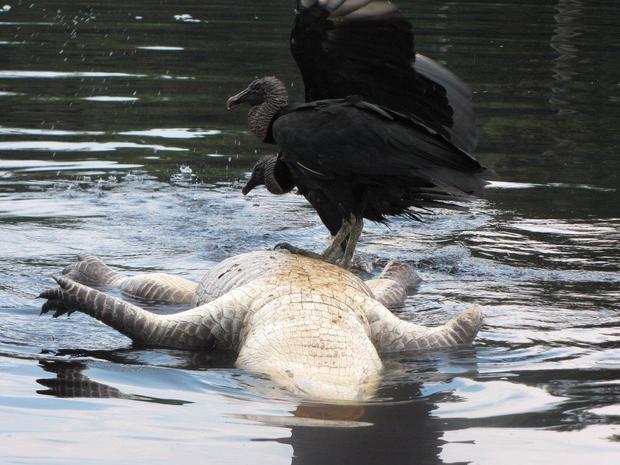 gator-st-johns-river-fla-ambika-kamath.jpg