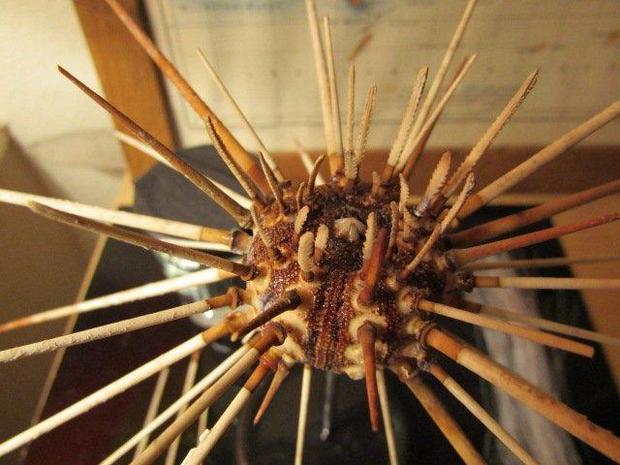 sea-urchin-josh-davison.jpg