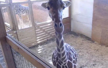 Pregnant woman dresses as giraffe to spoof zoo's live-stream
