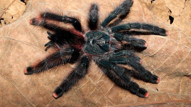 Bird Eating Spiders 3 New Species Of Giant Tarantulas