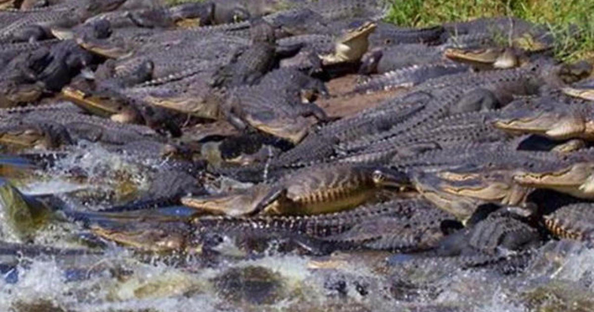 Dozens Of Alligators Flock To 134 Foot Deep Sinkhole In Florida Cbs News