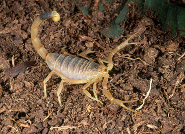 deathstalker-scorpion-getty-promo.jpg