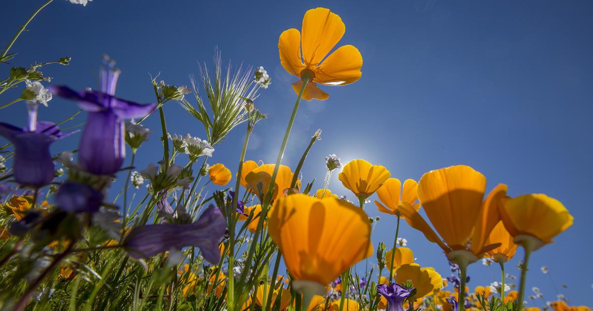 flowers spring bloom super cbs