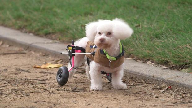 d2-tracy-wheelchair-dogs-transfer3.jpg