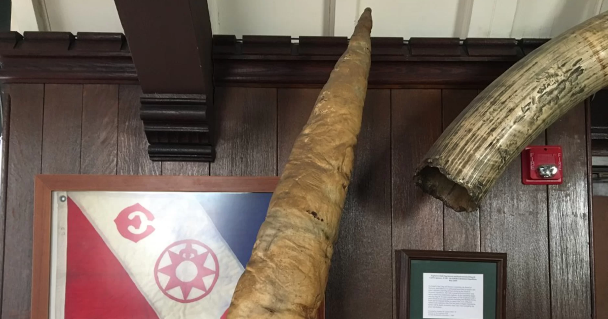 How A Whale Penis Came To The Explorers Club Cbs News