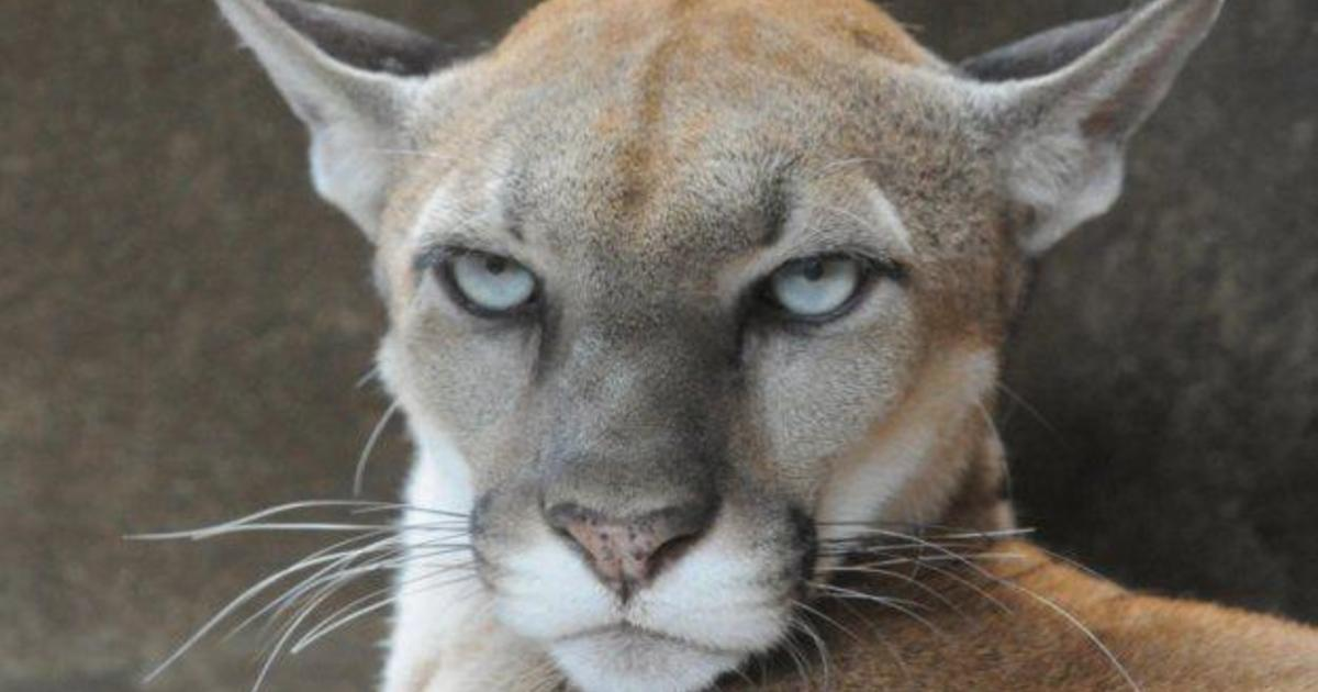 mount liberty cougar women A florida woman's extremely close encounter with what appears to be a hiker's run-in with cougar caught mountain lion sightings are not.