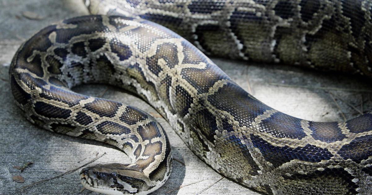 Python Strangles 2 Year Old Girl Insane Snake Attacks Warning Graphic Images Cbs News