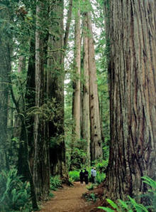 redwoods-simpson-reed-grove-trail-244.jpg