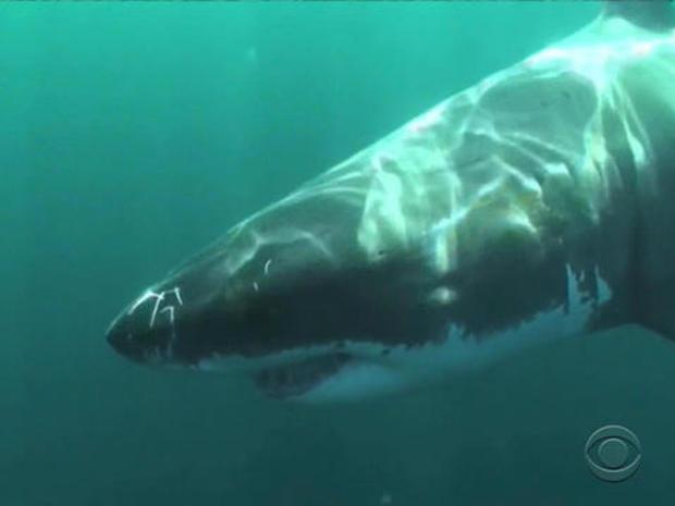 Shark attacks along the Calif. coastline on the rise