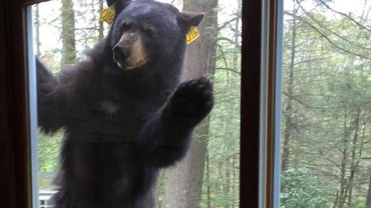 Hungry Bear Tries To Break Into Home After Smelling Freshly Baked Brownies Cbs News