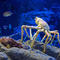 japanese-spider-crab-adobe-stock.jpg