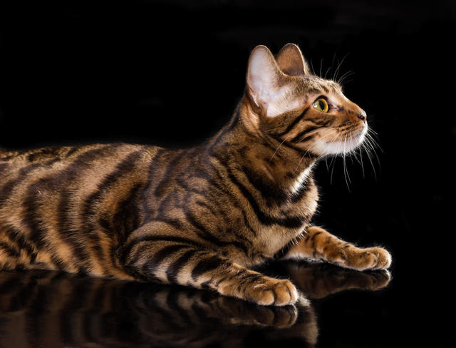 Meet the most expensive cat breeds in America - CBS News