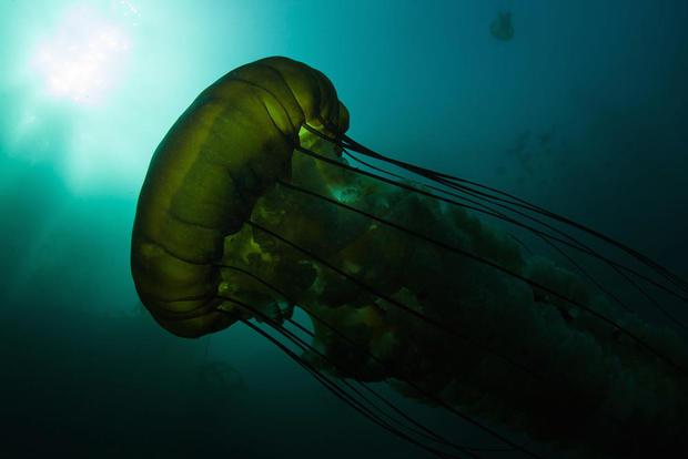 lions-mane-jellyfish-shutterstock.jpg