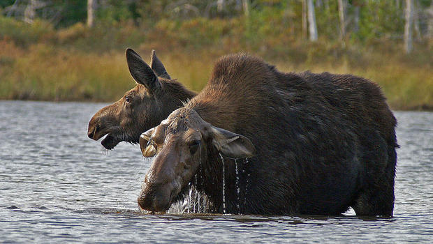 cow-moose-and-her-yearling-calf-eating-moose-muck-sherri-obrien-620.jpg