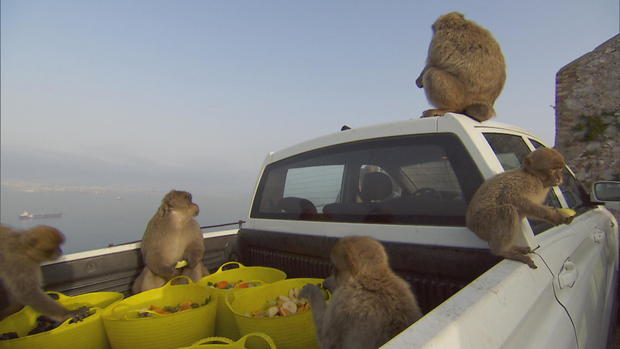 monkeys-on-truck-eating-food.jpg