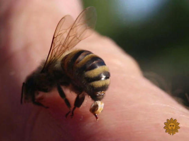 Enduring hundreds of insect stings, for science