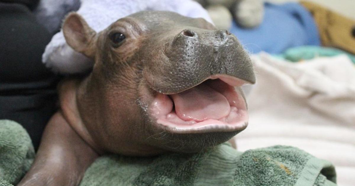 Nursing Baby Fiona Baby Fiona The Hippo Cincinnati Zoo