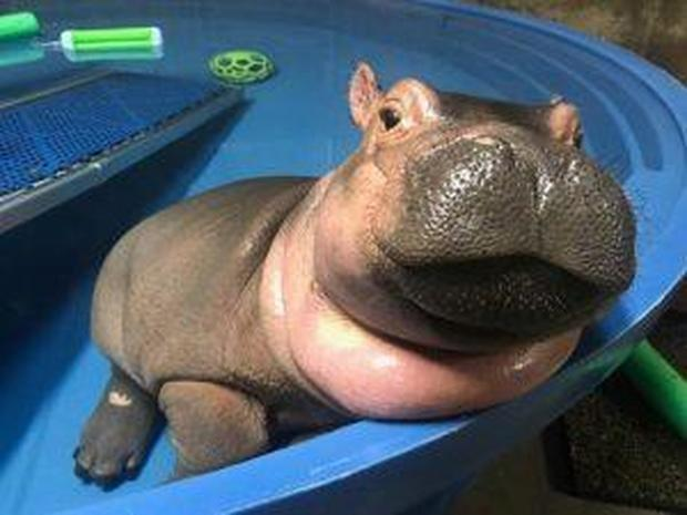 Image result for fiona the hippo