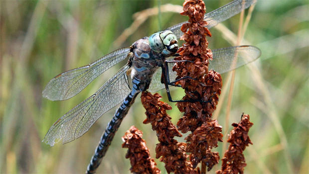 blue-darner-dragonfly-sherri-obrien-620.jpg