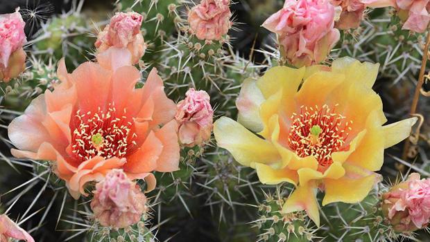 prickly-pear-cactus-verne-lehmberg-620.jpg