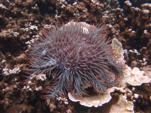 A Crown-of-thorns starfish is seen on the coral bed off Malaysia's Tioman Island in the South China Sea
