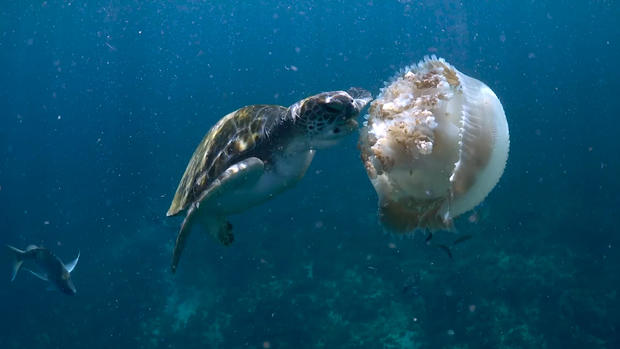 Green Turtles Snap Up Jellyfish For Dinner