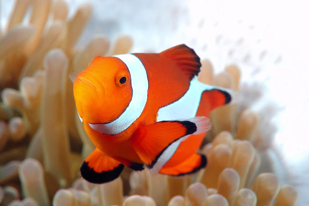 Clownfish Amphiprion Ocellaris 15 Creatures That Could