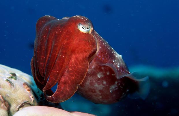Cuttlefish, Sepia kobiensis, Australia, Pacific Ocean, Great Barrier Reef