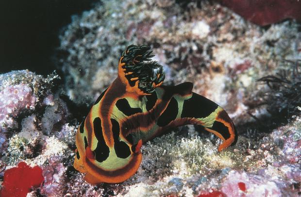Nudibranch mollusc. Great Barrier Reef, Australia.