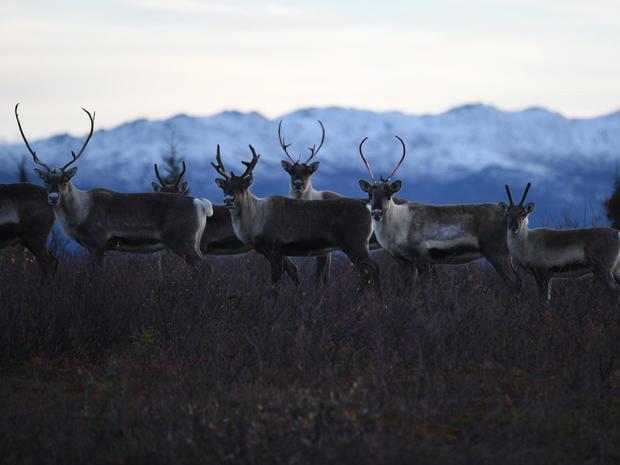 caribou-herd-alaska-2-promo.jpg