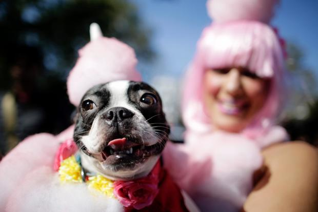 Keithus the Boston Terrier - Dog costume Halloween parade in New York City - Pictures - CBS News  sc 1 st  CBS News & Keithus the Boston Terrier - Dog costume Halloween parade in New ...