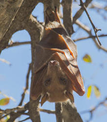 epauletted-fruit-bat-verne-lehmberg-244.jpg
