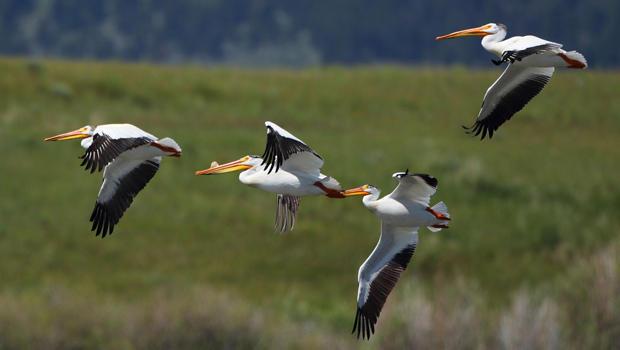 flying-white-pelicans-marcy-starnes-620.jpg